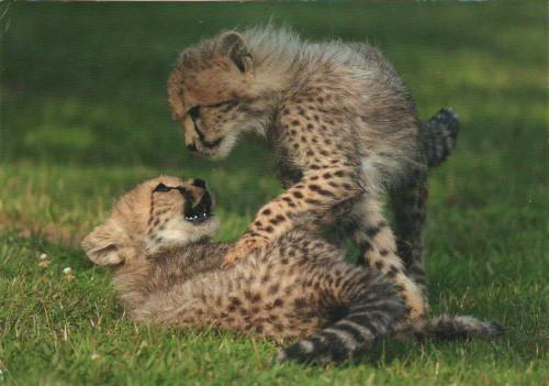 открытка Германии гепарды