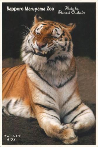 """Посткроссинг: почтовая открытка """"Тигр в зоопарке"""""""
